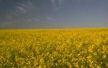 ../../The decision not to grow GE canola in Tasmania is already paying off
