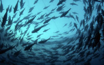 ../../Tuna stocks in the Pacific Ocean have reached crisis levels
