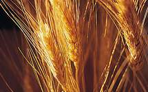 ../../All wheat is currently GE free